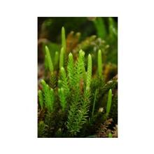 Essenze Floreali di Ricerca dell'Alaska: Club Moss (Lycopodium annotinum)